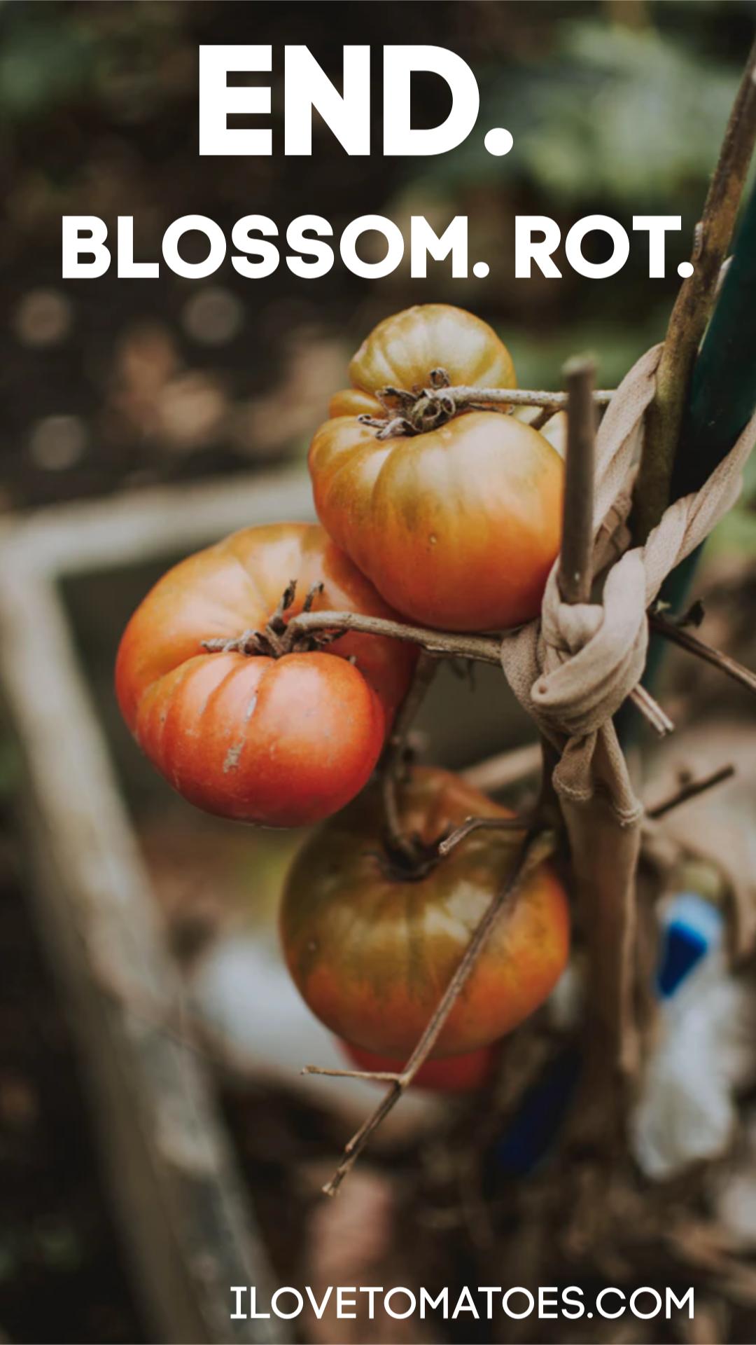end of harvest tomato garden
