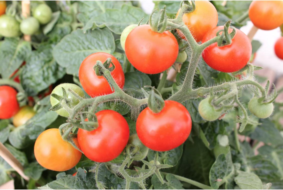 cherry tomatoes on the vine unsplash stock