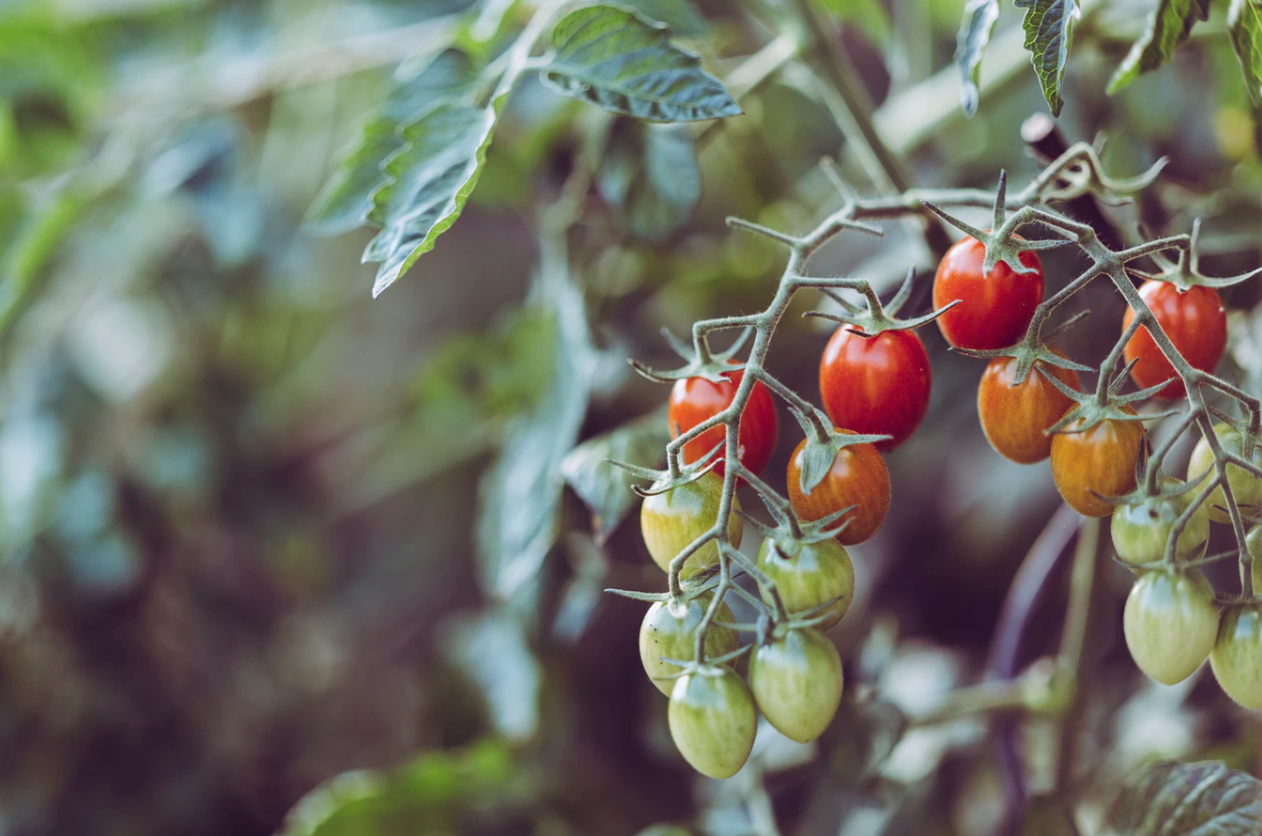 green and red cherry tomatoes on the vine
