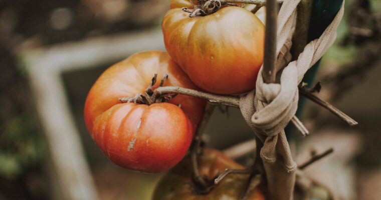 How To Eliminate Common Tomato Pests Organically