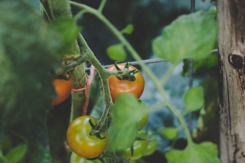 tomato pests