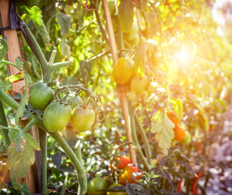 tomatoes for gardens