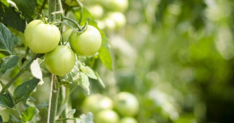 How To Pick The Perfect Tomato Plants For Your Garden