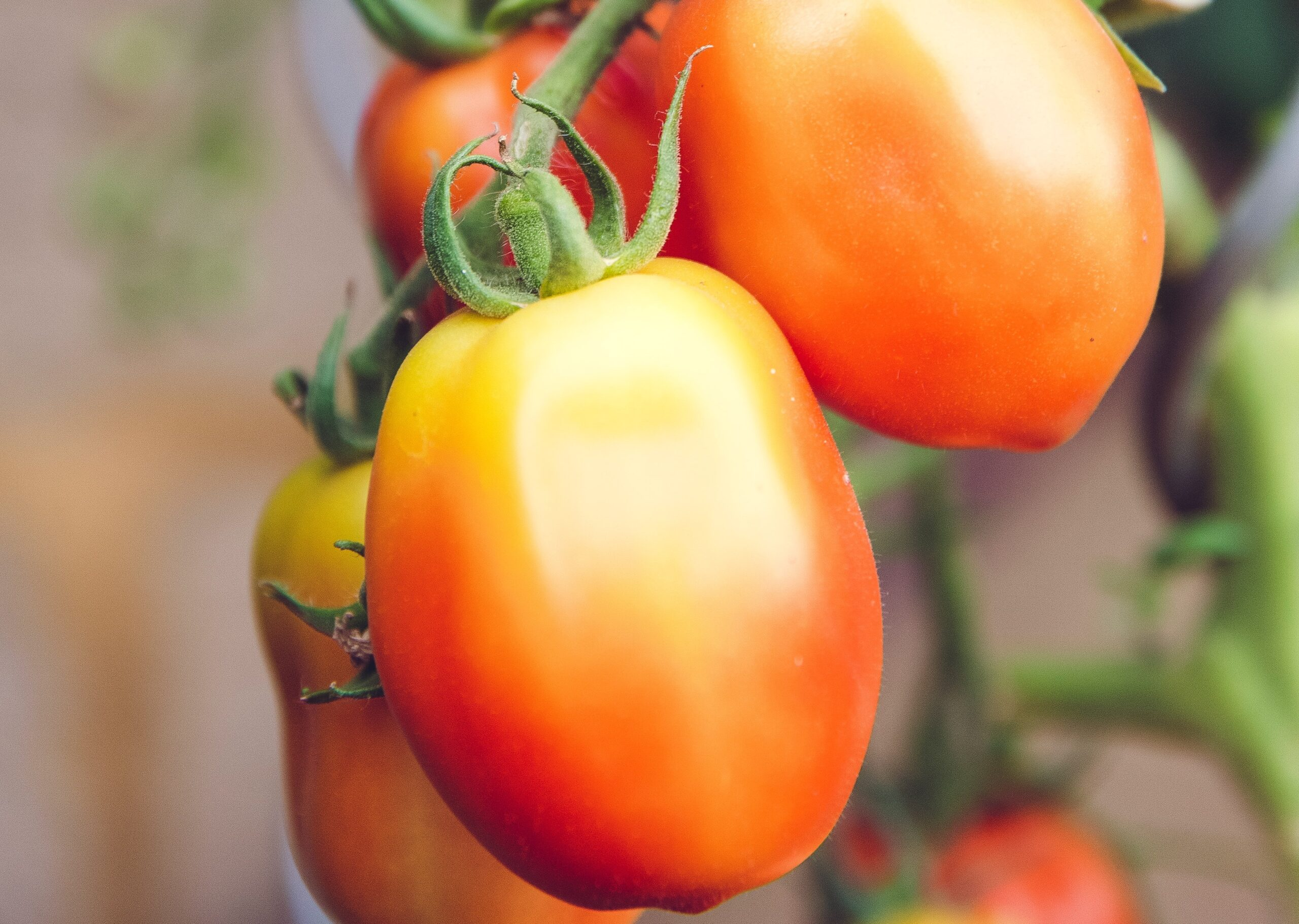 How To Grow and Harvest Roma Tomatoes